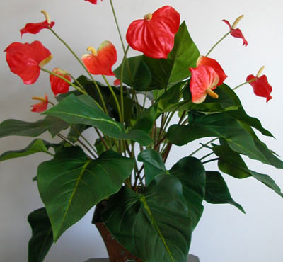 Anthurium for Plantas ornamentales de interio